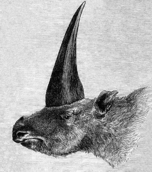 This is the first published restoration of Elasmotherium sibiricum. (Photo: Wikimedia Commons)